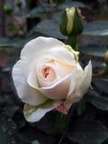 德国人玫瑰叫Kosmos,养殖由Kordes 图库摄影