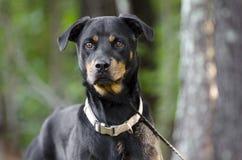 德国人Rottweiler狗 免版税库存图片