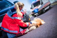 德国动物军医对待一条受伤的狗 免版税图库摄影