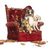 德国和澳大利亚牧羊人和长卷毛狗在被毁坏的扶手椅子 免版税库存照片