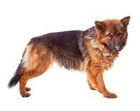 年轻德国牧羊犬 免版税库存照片