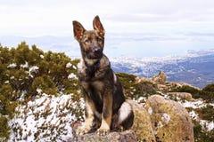 德国小狗牧羊人 库存照片