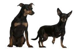 德国微型短毛猎犬 免版税库存照片