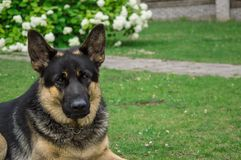 德国成人牧羊人 狗在绿色草坪使用 被拍的照片紧密  库存图片