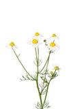 德国春黄菊(母菊属chamomilla) 免版税图库摄影