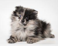 德国波美丝毛狗在演播室 免版税库存照片