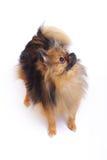 德国波美丝毛狗身分和看 免版税库存照片