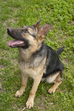 德国牧羊犬。 免版税图库摄影