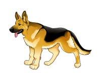 德国牧羊犬。 库存图片