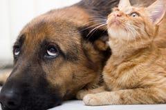 德国牧羊犬一起说谎一起狗和猫的猫和的狗 库存图片