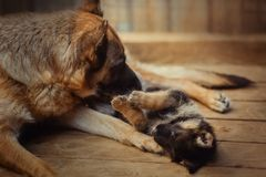 德国牧羊犬使用与小狗的母亲狗 免版税图库摄影
