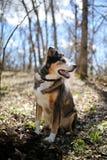 德国牧羊犬博德牧羊犬混合坐在森林里的品种狗 库存图片