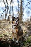 德国牧羊犬博德牧羊犬混合坐在森林里的品种狗 免版税库存图片