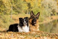 德国牧羊犬博德牧羊犬 免版税库存照片