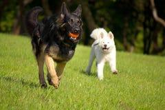 德国牧羊犬和秋田 免版税图库摄影
