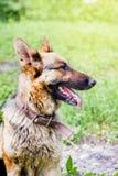 德国牧羊犬品种狗画象profil后面的 库存图片
