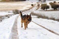 德国牧羊犬在一条道路的狗runnig有雪的 库存照片