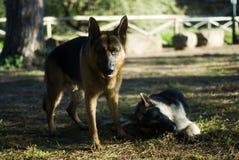 德国牧羊犬在公园 库存照片