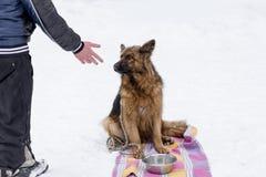 德国牧羊犬在冬天,等待他的晚餐 免版税库存图片