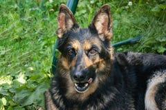德国牧羊犬在地面和休息说谎 库存照片