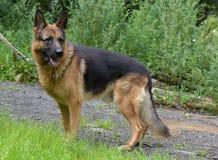 德国牧羊犬在夏天 库存照片