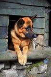 德国牧羊犬在它的狗窝 库存图片