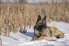 德国牧羊犬在芦苇的一个冬日在雪 图库摄影