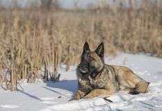 德国牧羊犬在芦苇的一个冬日在雪 免版税库存图片