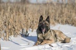 德国牧羊犬在芦苇的一个冬日在雪 免版税库存照片