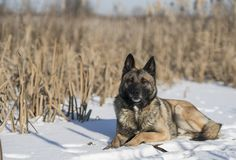 德国牧羊犬在芦苇的一个冬日在雪 库存照片