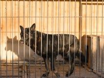 德国牧羊犬在颜色的狗黑色看起来哀伤笼子的视域的 免版税库存图片