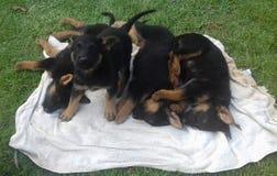 德国牧羊犬宠爱小狗 免版税库存图片