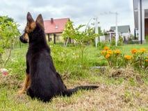 德国牧羊犬小狗充电 免版税图库摄影