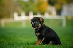 德国牧羊犬小狗在公园 免版税库存图片