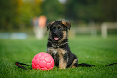 德国牧羊犬小狗坐草在公园 库存照片