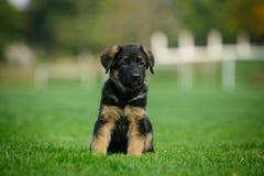德国牧羊犬小狗坐草 图库摄影