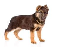 德国牧羊犬小狗摆在 背景查出的白色 免版税库存照片