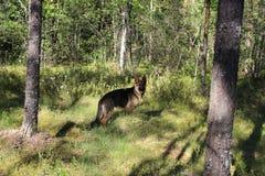 德国牧羊犬小狗10个月 森林 图库摄影