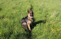 德国牧羊犬小狗10个月 免版税库存照片