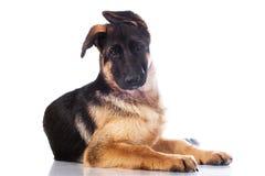 德国牧羊犬小狗 免版税库存图片