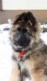 德国牧羊犬小狗 库存照片