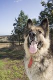 德国牧羊犬愉快的姿势 免版税库存图片