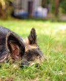 德国牧羊犬掩藏 库存照片