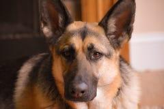 德国牧羊犬放下 免版税库存图片