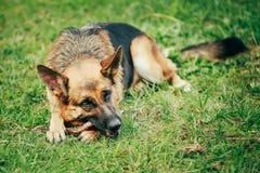 德国牧羊犬棍子嚼室外 免版税库存照片