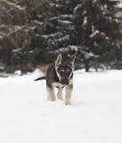 德国牧羊犬步行 库存照片