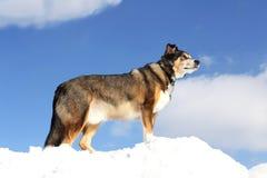 德国牧羊犬混合品种狗是山的国王在多雪的h的 免版税库存图片