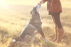 德国牧羊犬混合狗坐好和得到款待从奥尼 库存照片