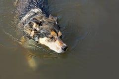 德国牧羊犬混合狗游泳在湖 免版税库存照片