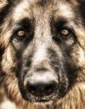 德国牧羊犬特写镜头纵向  免版税库存图片